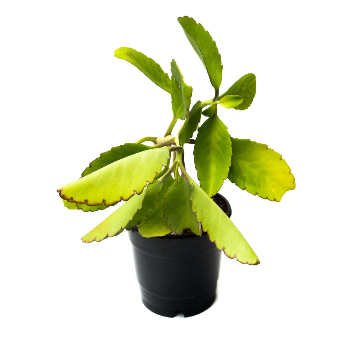 TheBaghStore Bryophyllum Pinnatum