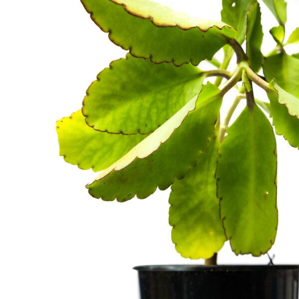 Bagh Bryophyllum Pinnatum