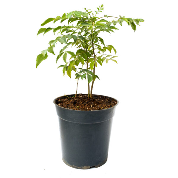 Bagh Curry Leaves Plant