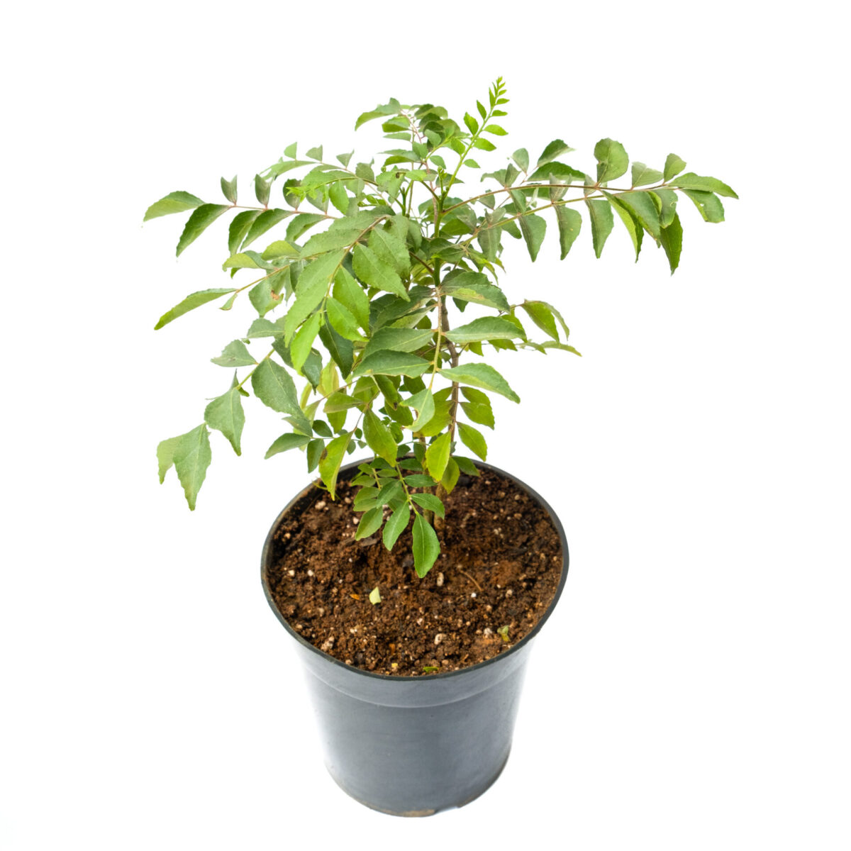 TheBaghStore Curry Leaves Plant