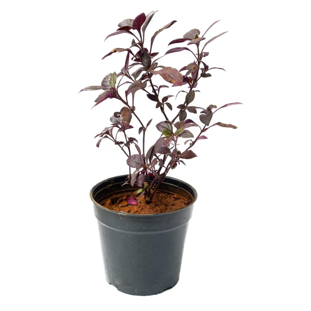 TheBaghStore Pseuderanthemum