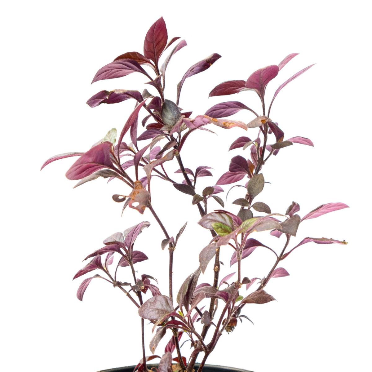 Bagh Pseuderanthemum