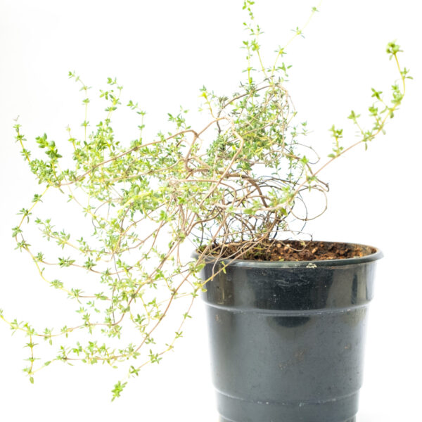 Bagh Thyme Live Plant