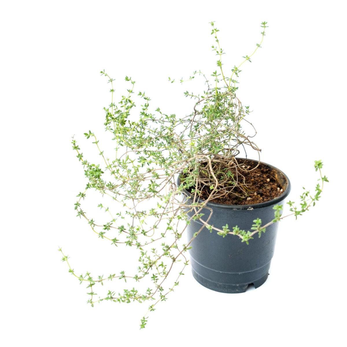 Bagh Thyme Plant