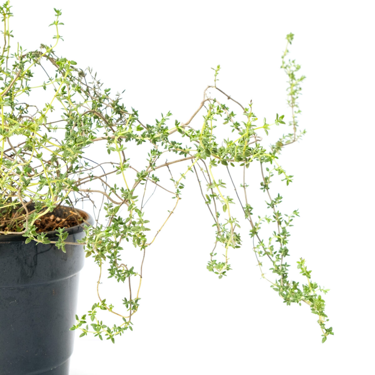 TheBaghStore Thyme