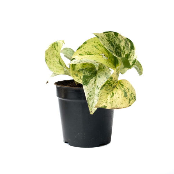 Bagh Marble Pothos