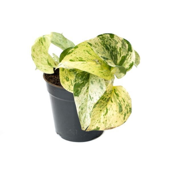 Bagh Marble Queen Pothos