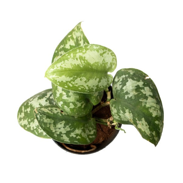 TheBaghStore Satin Pothos