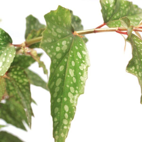 begonia maculata tamaya plants from nursery
