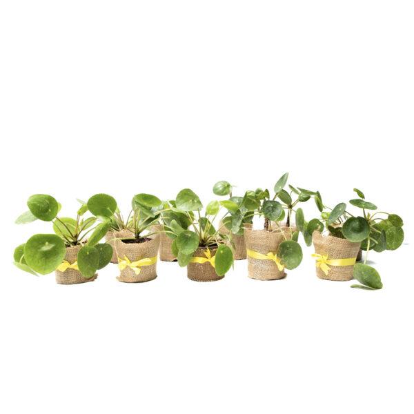 Pilea peperomioides - set of 10