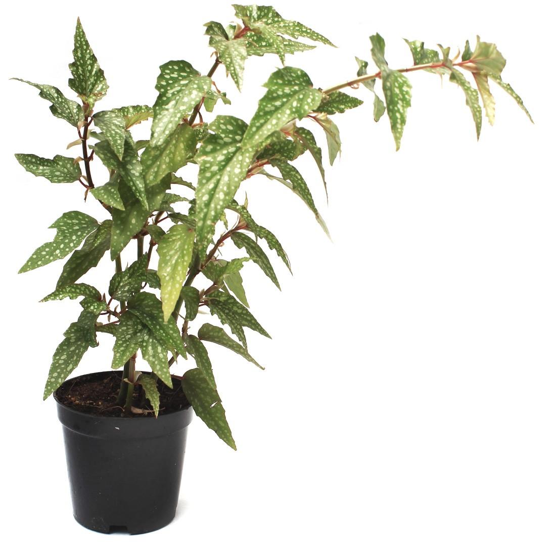begonia maculata tamaya in live plant nursery
