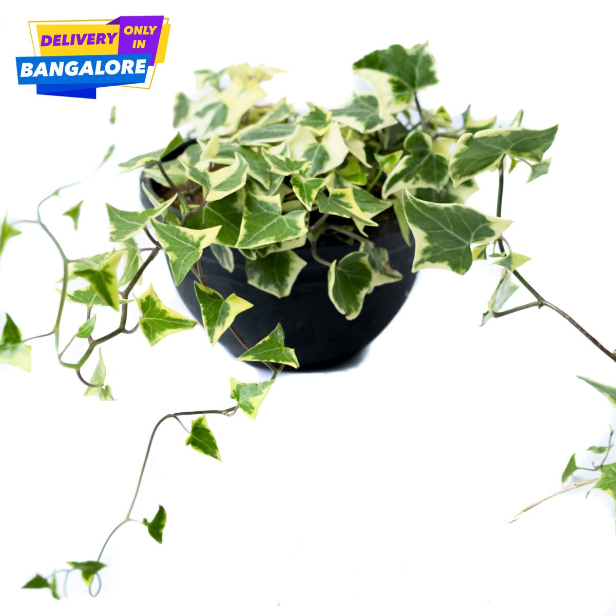 English Ivy indoor plant Bangalore Delivery only