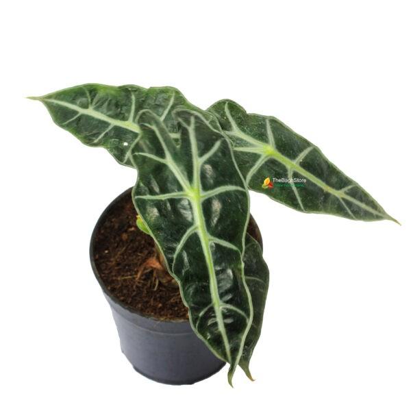 alocasia polly best plant for balcony garden