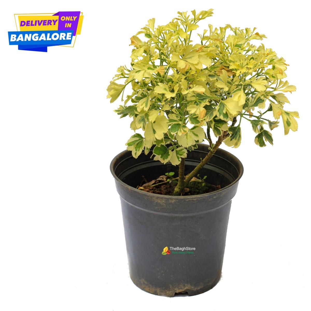 Aralia Indoor Plant Bangalore delivery bright indirect sunshine