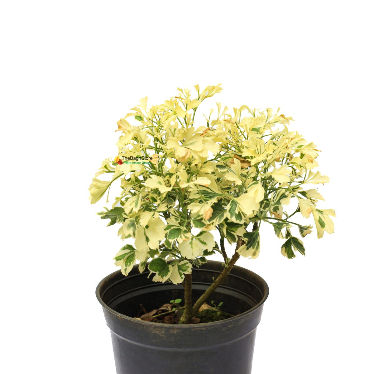 Aralia plant bangalore delivery only
