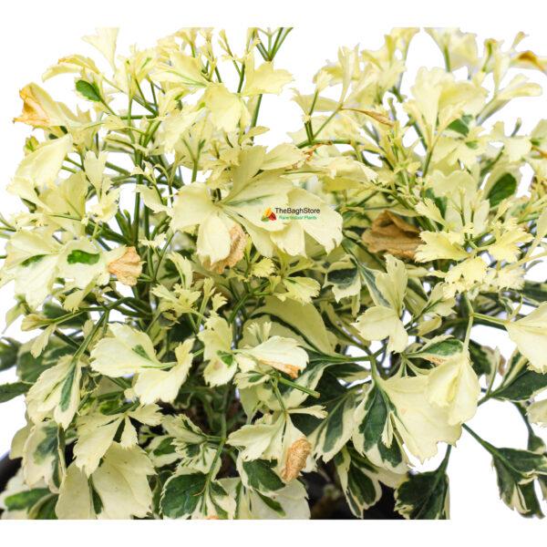 polyscias scutellaria indoor plant online bangalore delivery