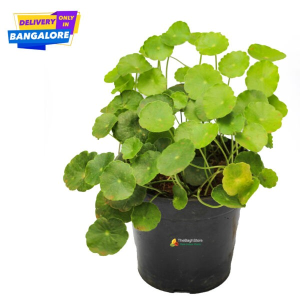 Bacopa Monnieri, Gotu Kola, Brahmi, Centella Asiatic Plant, Medicinal indoor plants