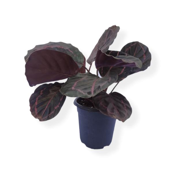 Calathea Purple Plant Bangalore Delivery