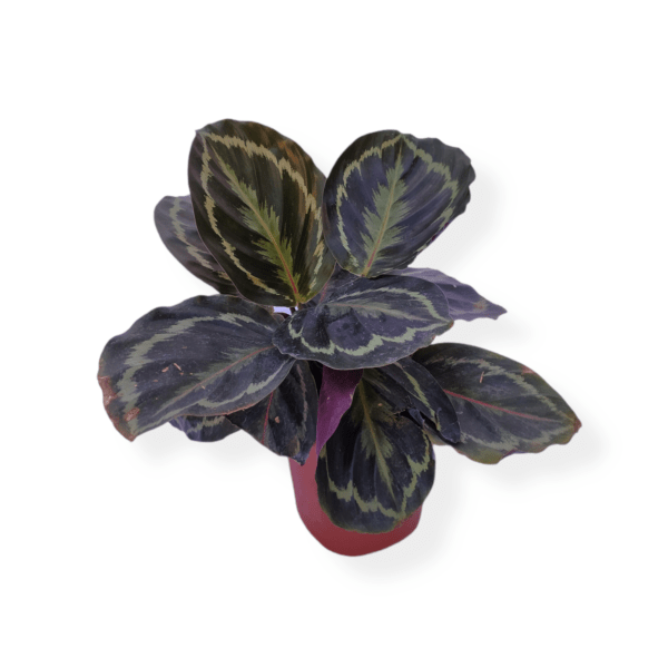 Calathea Roseopicta Plant From the Best Plant Nursery