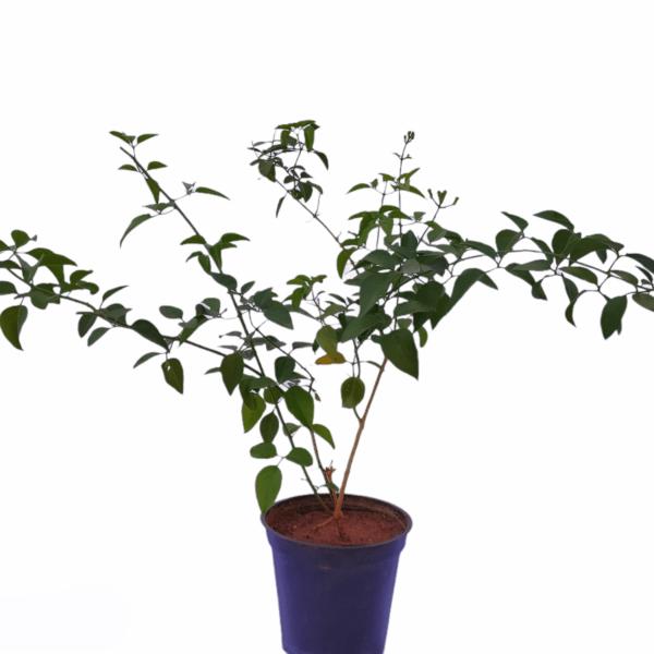 Jasmine wall climber indoor plant