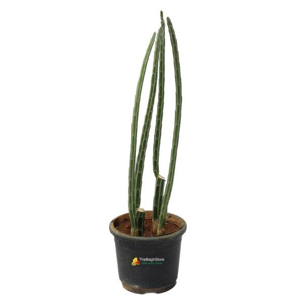 Pickle Plant - A rare succulent plant