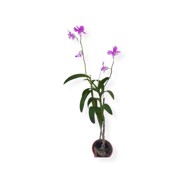 Orchids plant online Bangalore delivery