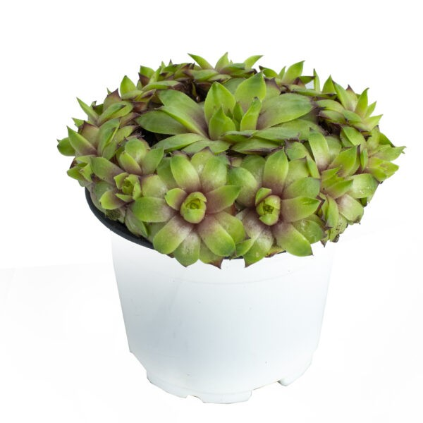 sempervivum succulent plant online in small house plant nursery