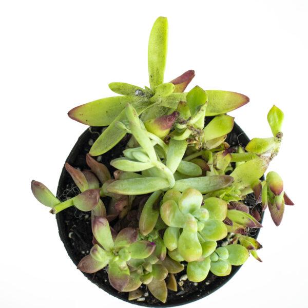 Buy Anacampseros Rufescens