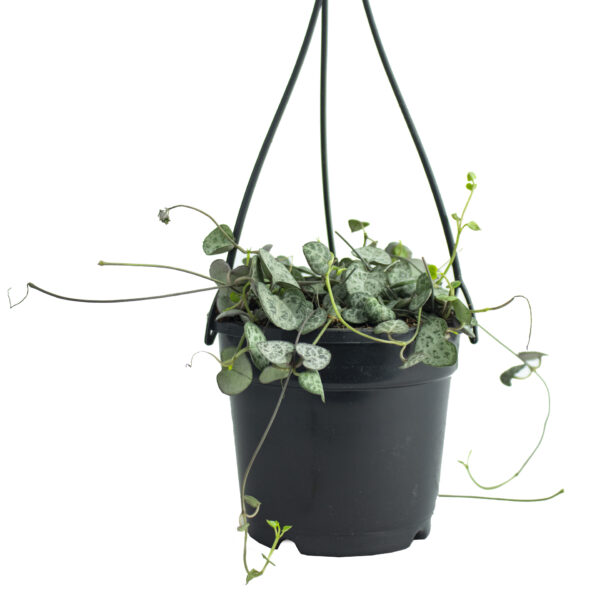 Buy String of Hearts