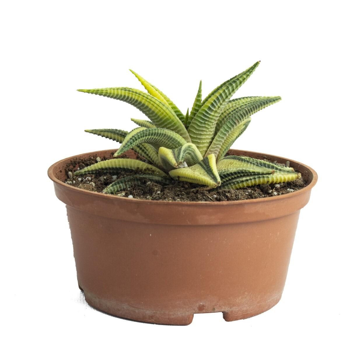 Buy Haworthia Limifora Yellow Variegata