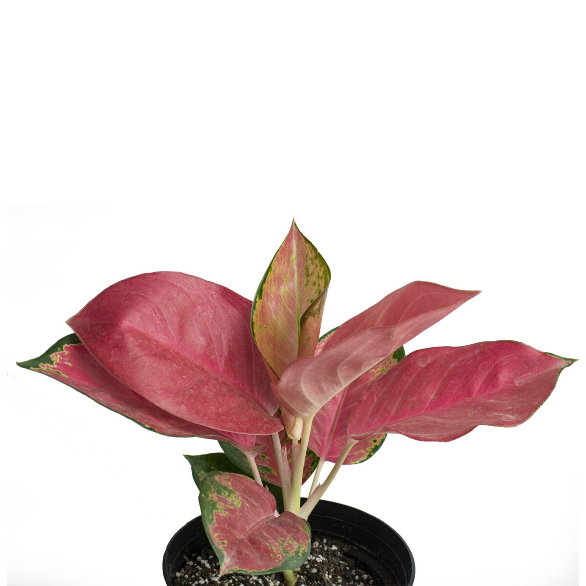 Aglaonema 'Suksom Jaipong' plant indoor for office desk plant or table top plant