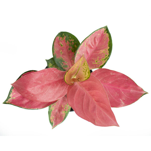 Aglaonema 'Suksom Jaipong' indoor plant for office desk plant or table top plant from the top rare indoor plant nursery