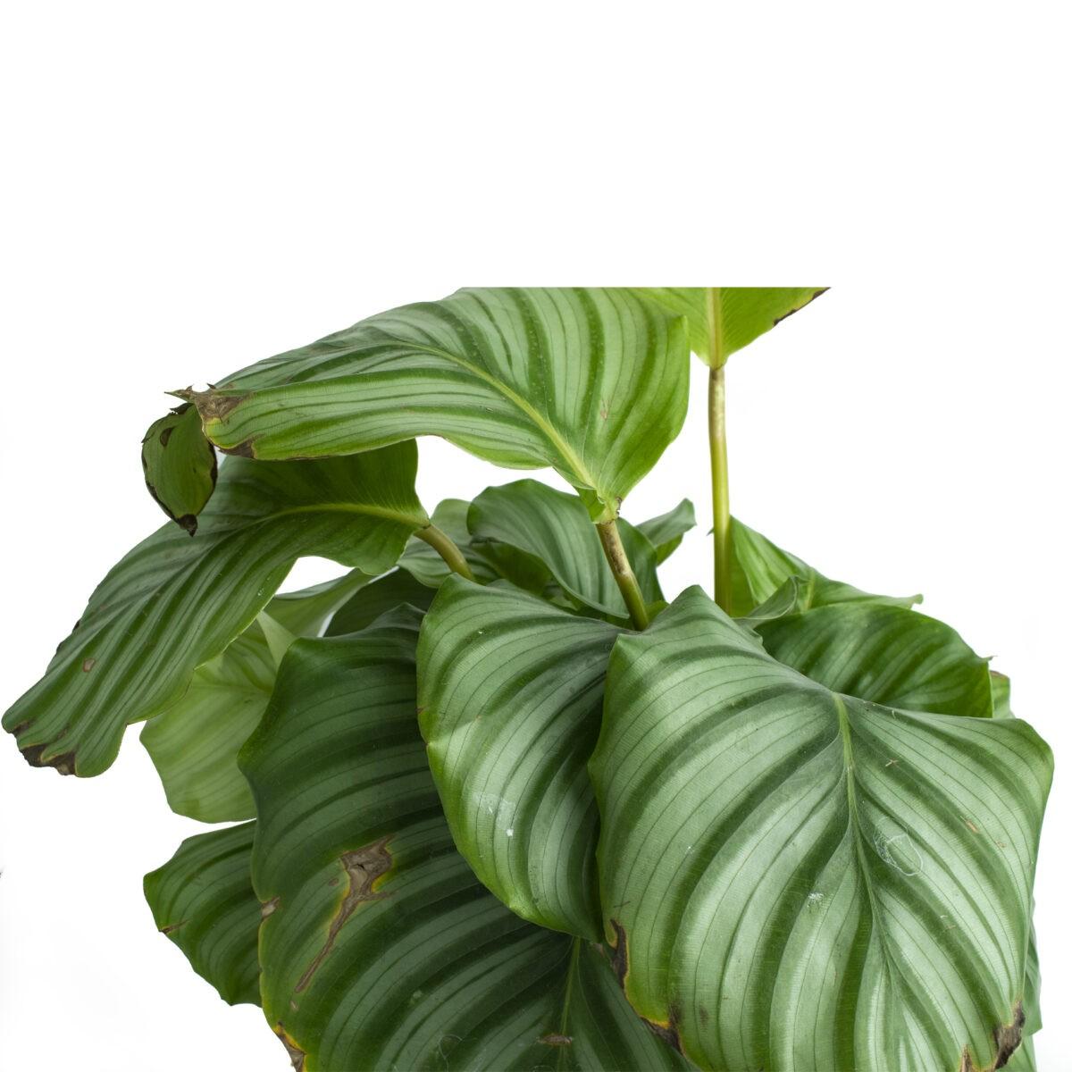 Calathea Orbifolla Marantha Indoor Plant in live nursery bangalore