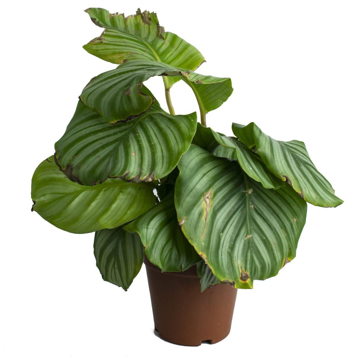 Calathea Orbifolla Marantha Indoor Plant