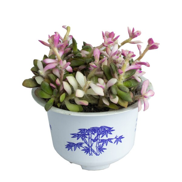 Anacampseros Rufescens Succulent Plant from Nursery Online India