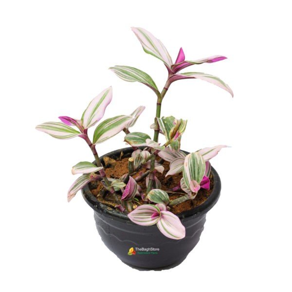 Rhoeo Variegated Plant in Hanging Pot