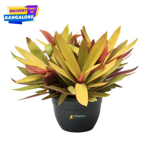 Rhoeo Indoor Plant Bangalore Delivery Only