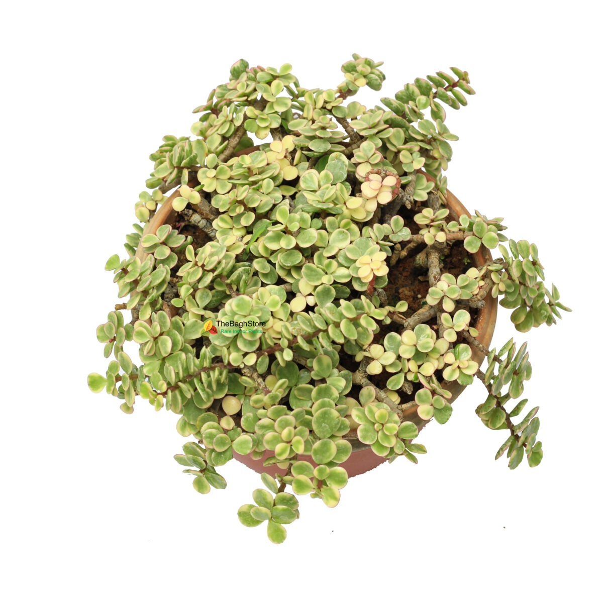Hanging Variegated Jade plant indoor bangalore delivery