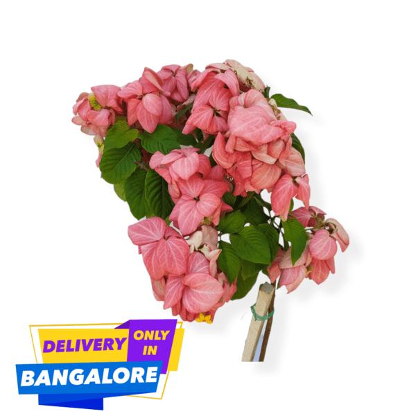 Mussaenda Frondosa flowering plant online bangalore delivery