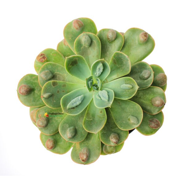 echeveria rain drops plant