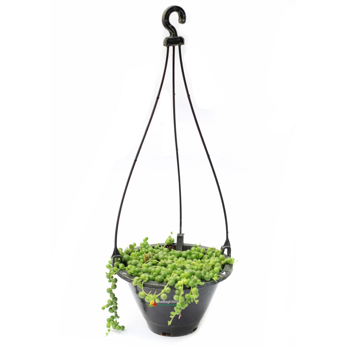 String of Pearls in beautiful Hanging Pots