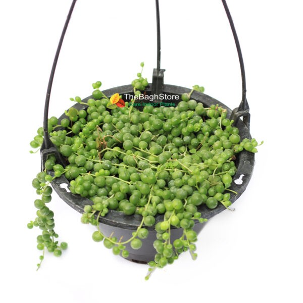 String of Pearls in hanging planters
