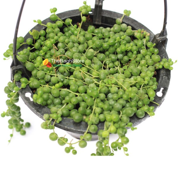 String of Pearls - hanging plants