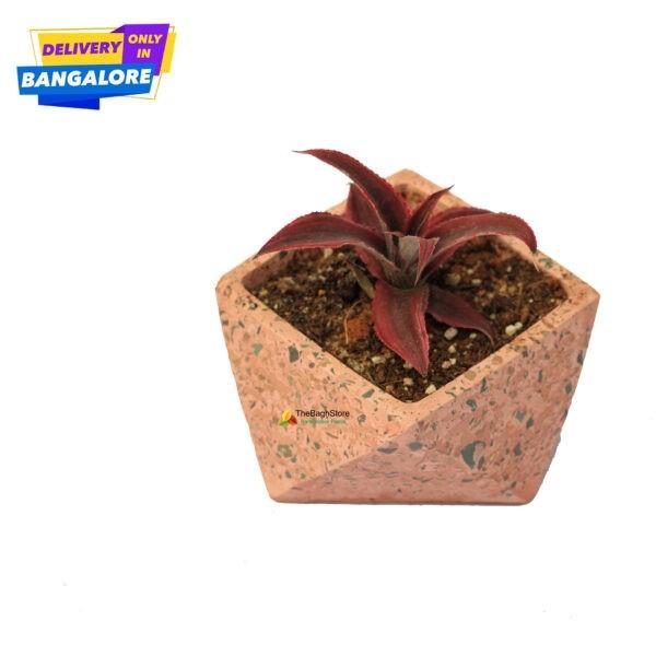 Bivittatus plant in a beautiful concrete pot