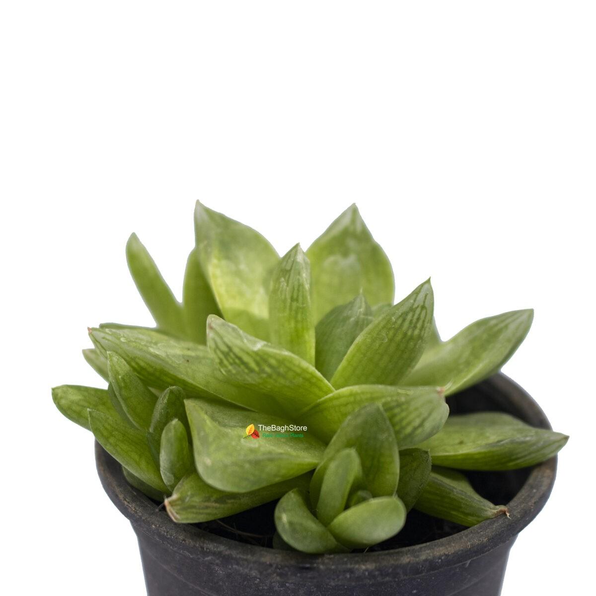 Haworthia Retusa, Star Cactus - Succulent Plant