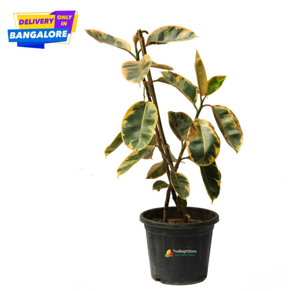 Rubber Plant Tineke with colourful leaves from plants online Bangalore Nursery