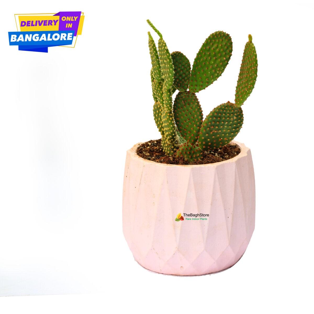 Bunny Ear Cactus in a pink concrete pot - Plant Nursery Bangalore