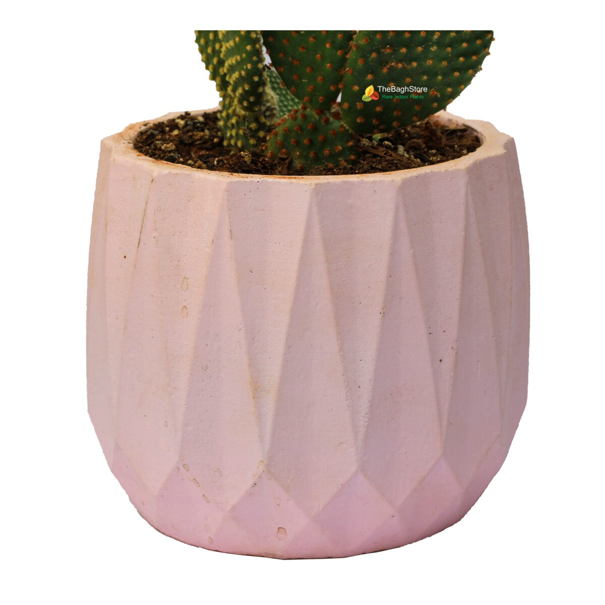 Bunny Ear Cactus in a pink concrete pot - Online Plant Nursery