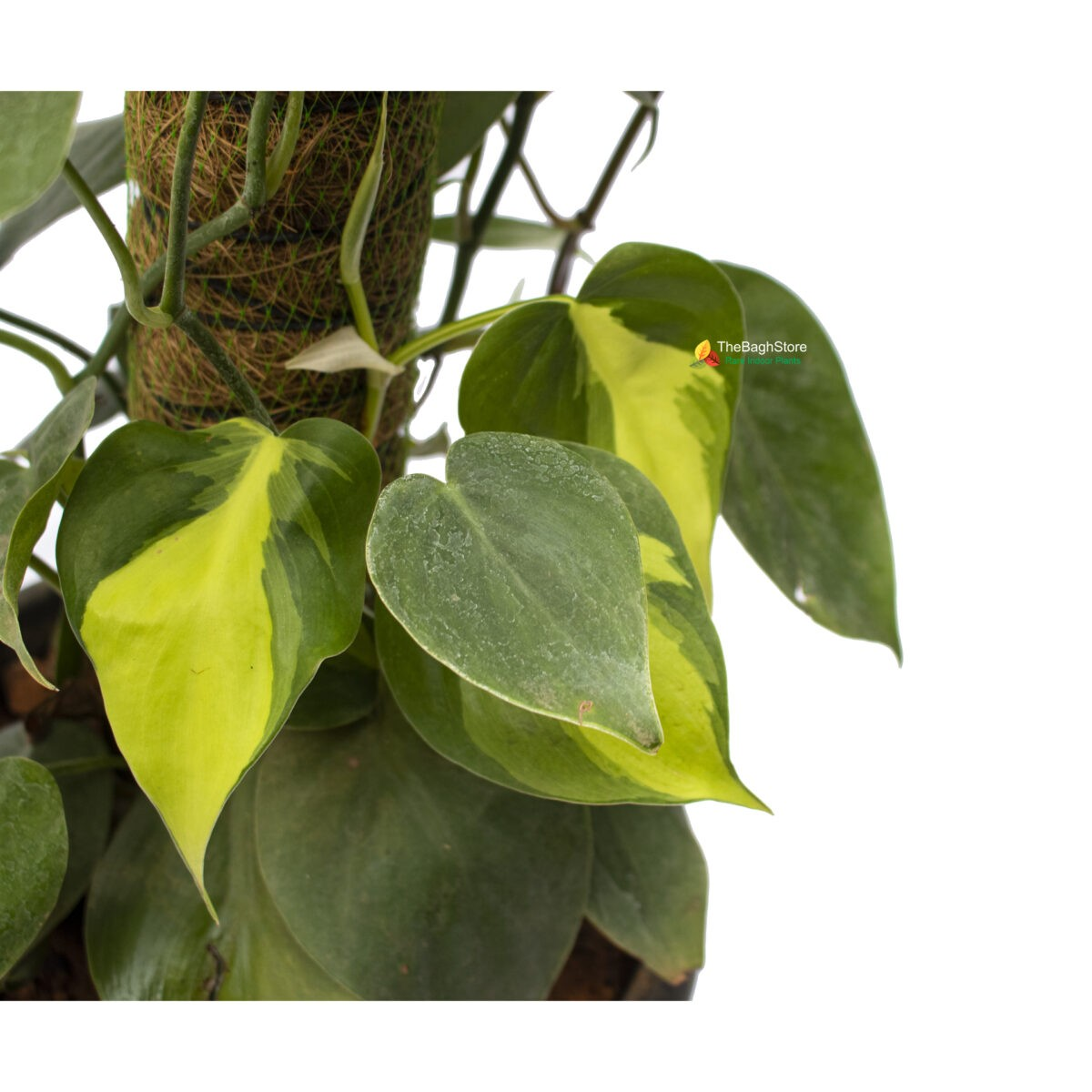 Philodendrons Brasil Variegated