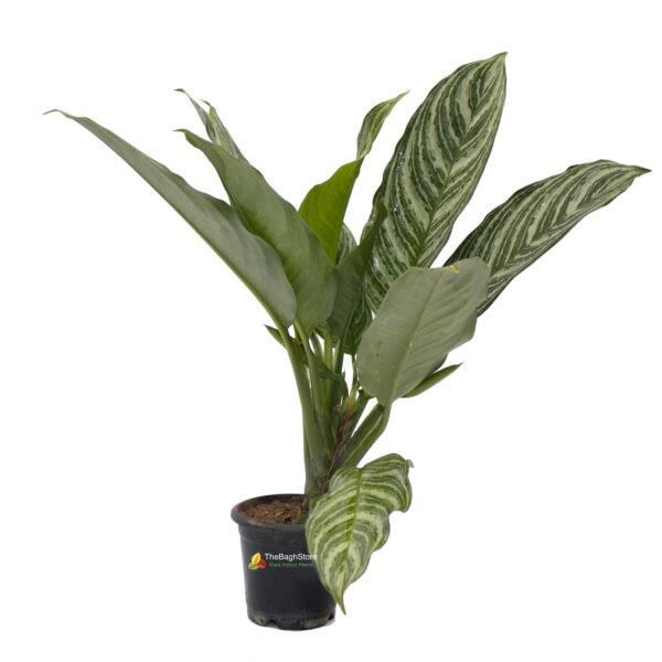 Aglaonema Stripes Chinese Evergreen